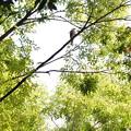Photos: ツミ(とハト)