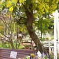 Photos: ミモザの咲く頃 2021-f