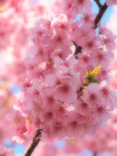 伊豆稲取の河津桜は今年も艶やかで