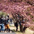 Photos: みんなで木登り桜のぼり
