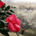山茶花も咲く梅の里