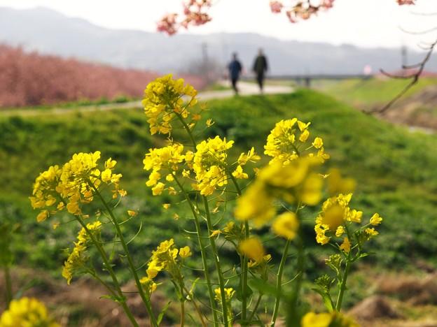 菜の花と函南桜 -a