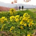 Photos: 菜の花と函南桜 -a