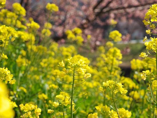 菜の花と函南桜 -b