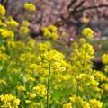 Photos: 菜の花と函南桜 -b