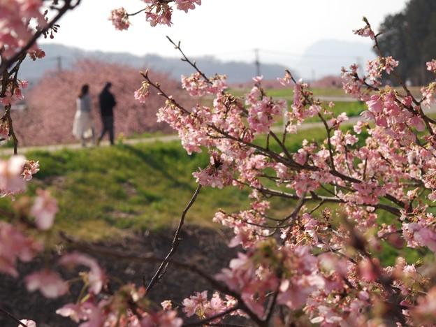 函南桜咲くふたりの小径