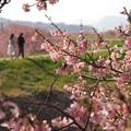 Photos: 函南桜咲くふたりの小径