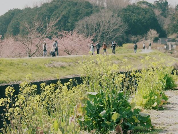 菜の花と函南桜 -c