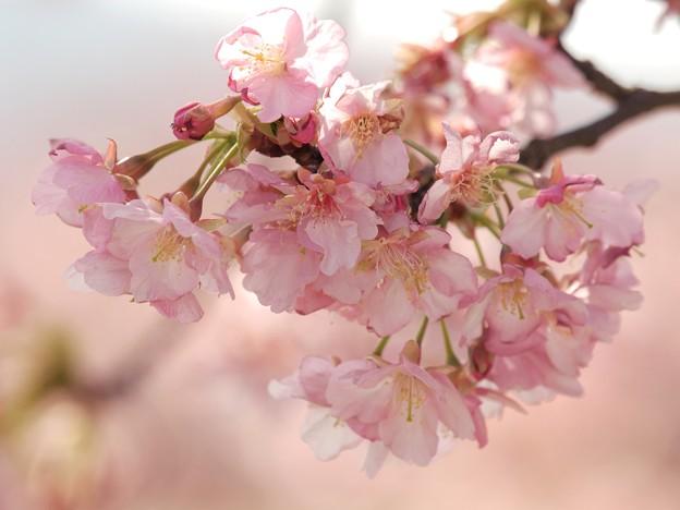 The 函南桜