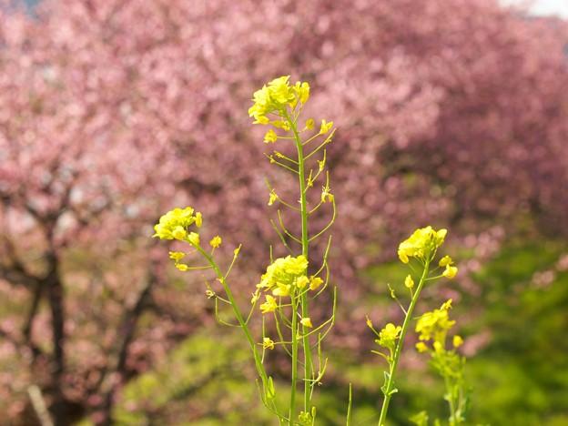 菜の花と玉ボケになった函南桜