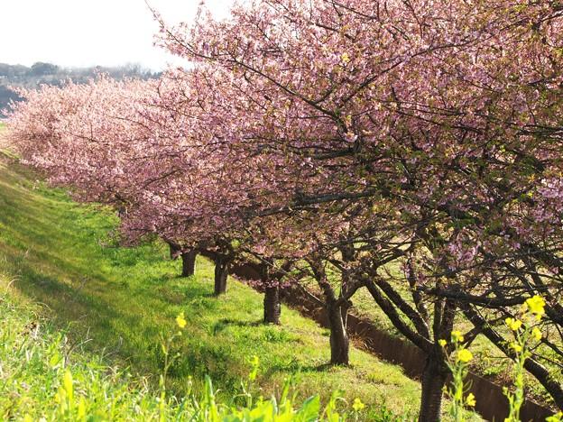 柿沢川堤のかんなみ桜