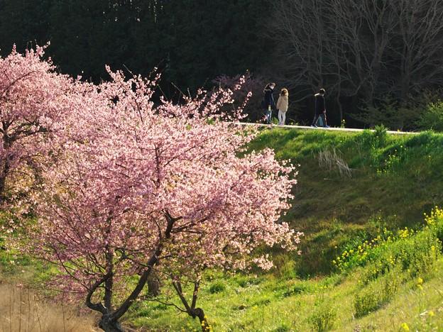 午後の陽射しを浴びたかんなみ桜