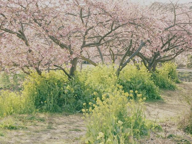 せせらぎ公園の春