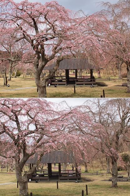 咲き始め桜と東屋と
