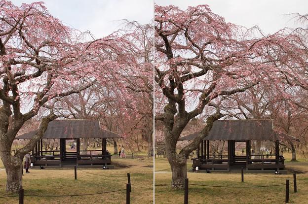 桜の里は咲き始め