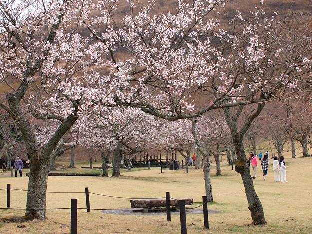 春の桜、段々と