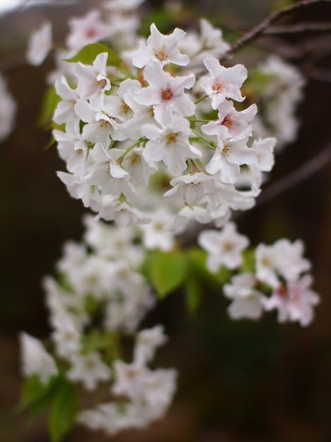 単焦点が見た桜の花びら