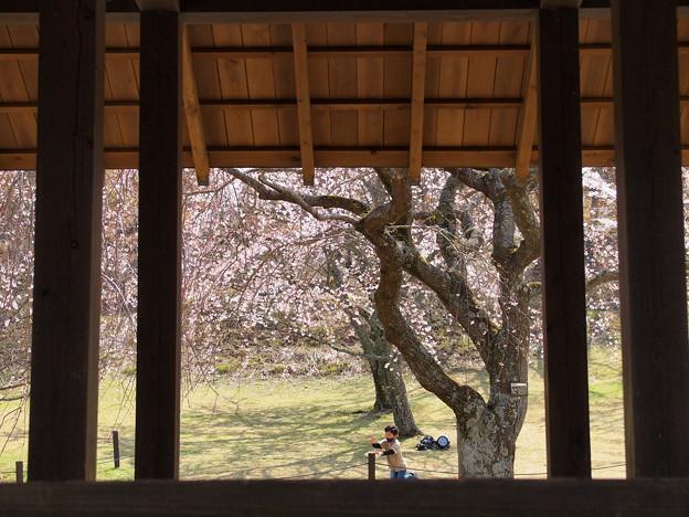 お子ちゃまはしゃぐ桜樹の下で