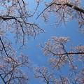 春の青空、サクラ咲く