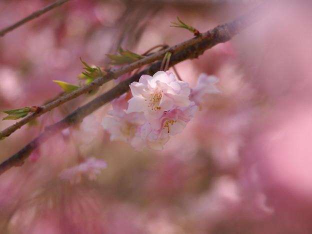 ひと房の桜花
