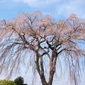 小室山のしだれ桜