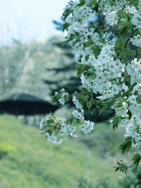 小室山公園の大島桜