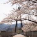 エコーブリッジにサクラ咲き