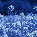 富士の裾野に咲く