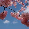 春の青空、そして桜の花びらと