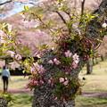 春の息吹~撮り比べ ^^;