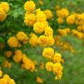 黄色い声、幾多