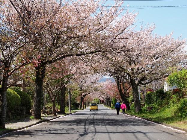 桜花に包まれしふたり