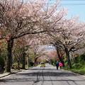 Photos: 桜花に包まれしふたり