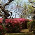 梅樹の狭間に咲く