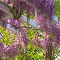 Photos: 漂いし春の香り