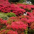 ツツジ咲く小室山公園