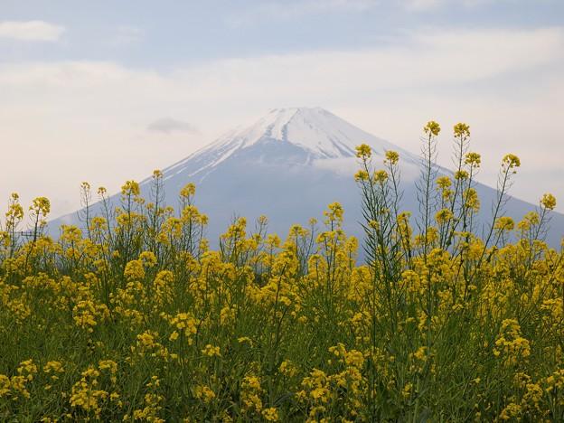 Photos: 富士の裾野に菜の花が