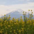 富士の裾野に菜の花が