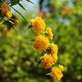 Photos: 瑞泉郷の春便り~黄色