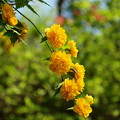 瑞泉郷の春便り~黄色