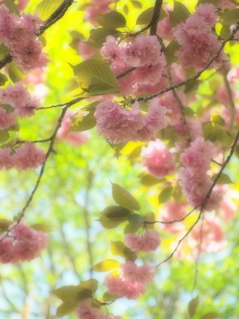 瑞泉郷の春便り~桜ファンタジー
