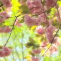Photos: 瑞泉郷の春便り~桜ファンタジー