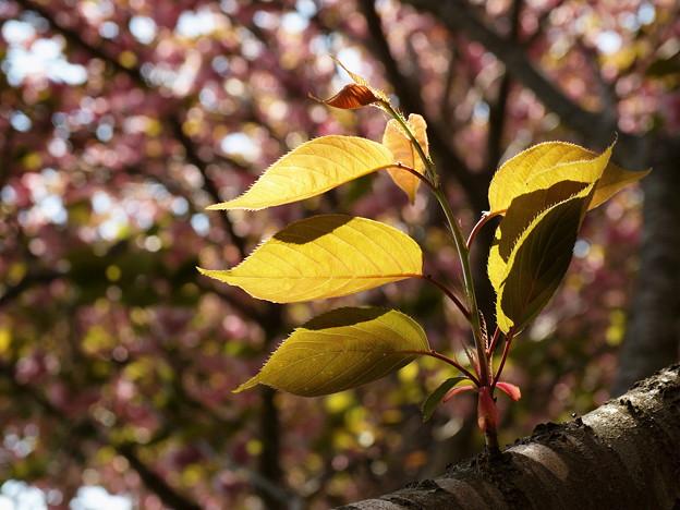 瑞泉郷の春便り~葉桜