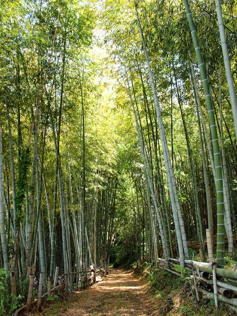 茶畑の竹林に木漏れ陽が
