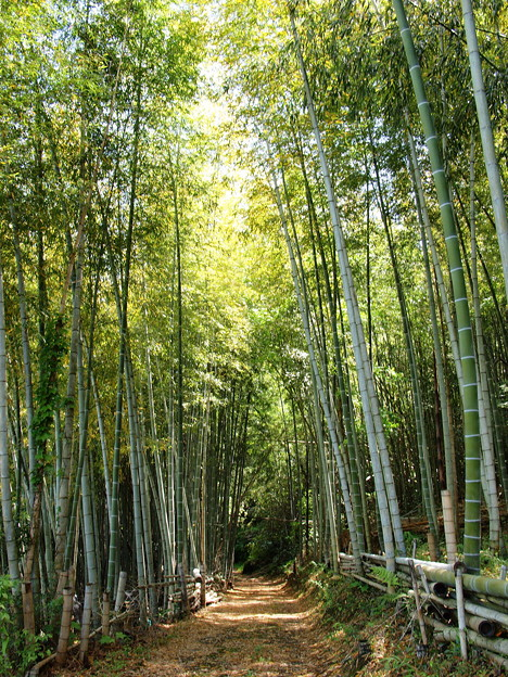 Photos: 茶畑の竹林に木漏れ陽が