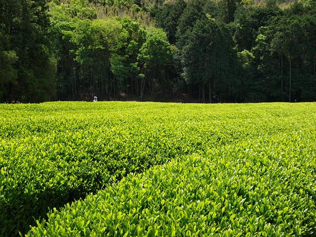 煌めく茶畑