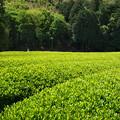 Photos: 煌めく茶畑