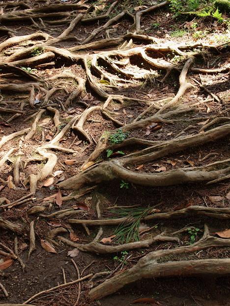地を這う根は…