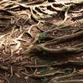 Photos: 地を這う根は…