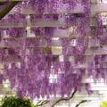 垂れる2色の藤